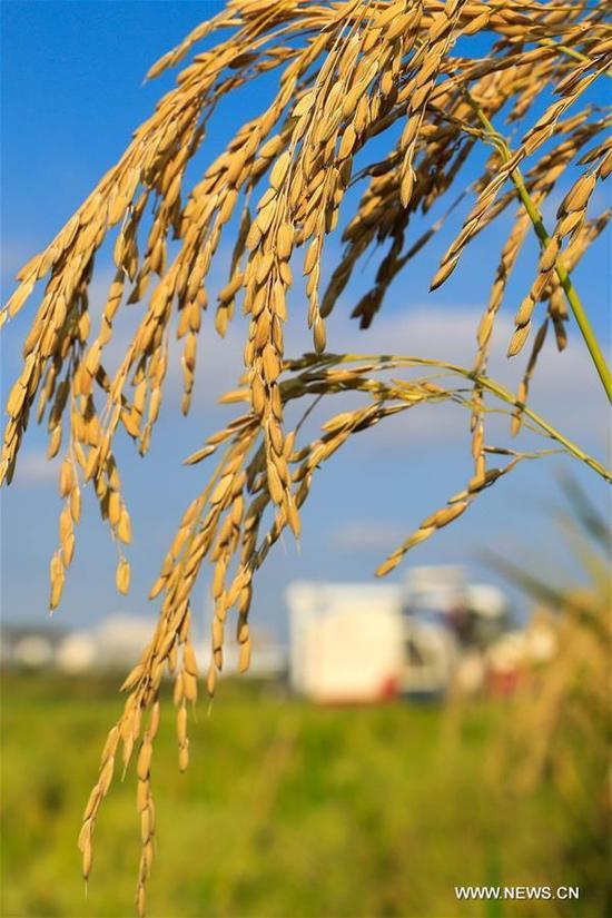 Rice are seen in Mudian Village of Mudian Township in Xuyi County of Huai'an, east China's Jiangsu Province, Oct. 9, 2017. (Xinhua/Zhou Haijun)