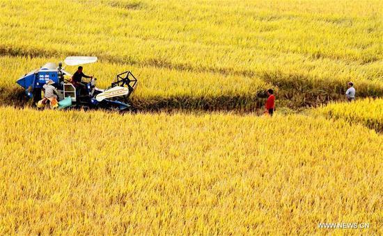 Farmers harvest rice in Hebei Village of Shuangxi Town in Jing'an County, east China's Jiangxi Province, Oct. 8, 2017. (Xinhua/Xu Zhongting)