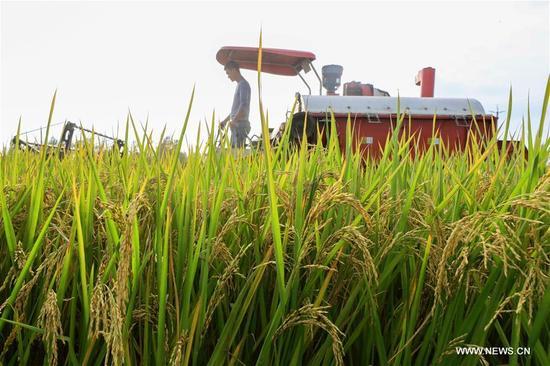 A farmer harvests rice in Mudian Village of Mudian Township in Xuyi County of Huai'an, east China's Jiangsu Province, Oct. 9, 2017. (Xinhua/Zhou Haijun)