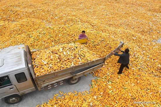 Farmers unload corn in Gouya Village of Dazhuang Town in Yinan County, east China's Shandong Province, Oct. 8, 2017. (Xinhua/Xu Zhongting)