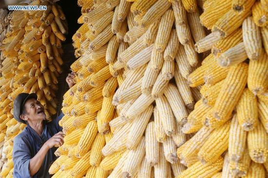 A farmer airs corns in Chongqing, southwest China, Oct. 10, 2017. (Xinhua/Yang Min)