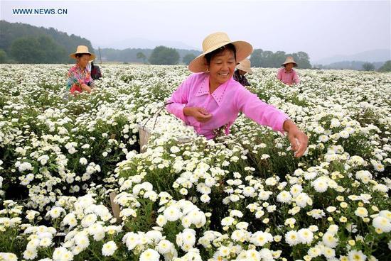 Farmers harvest chrysanthemum in Huaining County, east China's Anhui Province, Oct. 10, 2017. (Xinhua/Jiang Sheng)