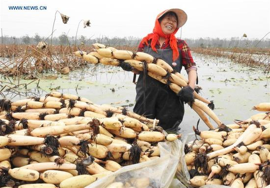 A farmer harvests lotus roots in Lianyungang, east China's Jiangsu Province, Oct. 10, 2017. (Xinhua/Geng Yuhe)