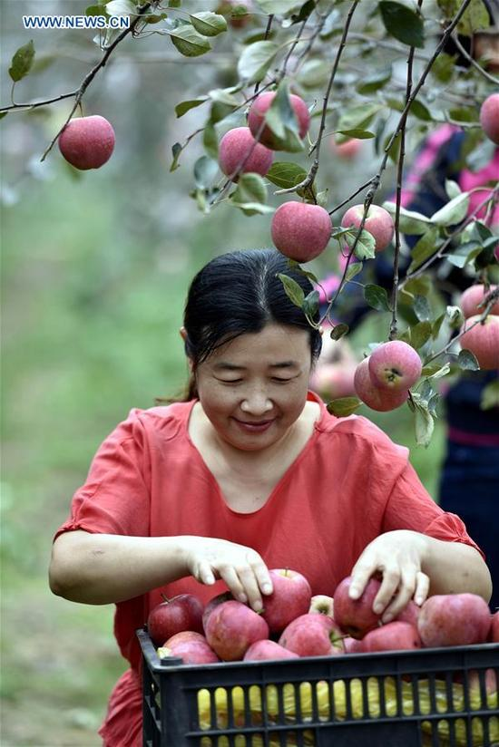 A staff member harvests apples in Dancheng County, east China's Shandong Province, Oct. 10, 2017. (Xinhua/Fang Dehua)