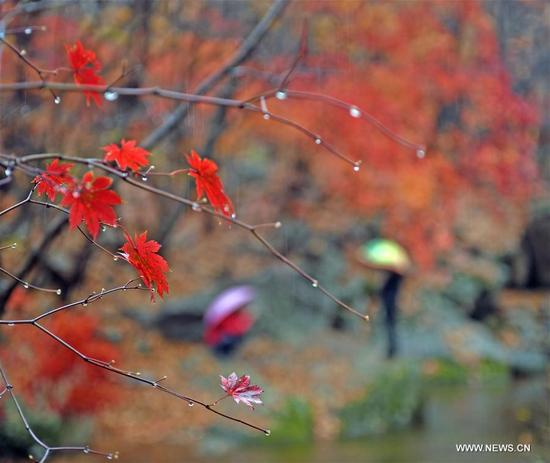 Tourists view the scenery of red leaves at Laobiangou scenic spot in Benxi, northeast China's Liaoning Province, Oct. 10, 2017. (Xinhua/Yang Qing)