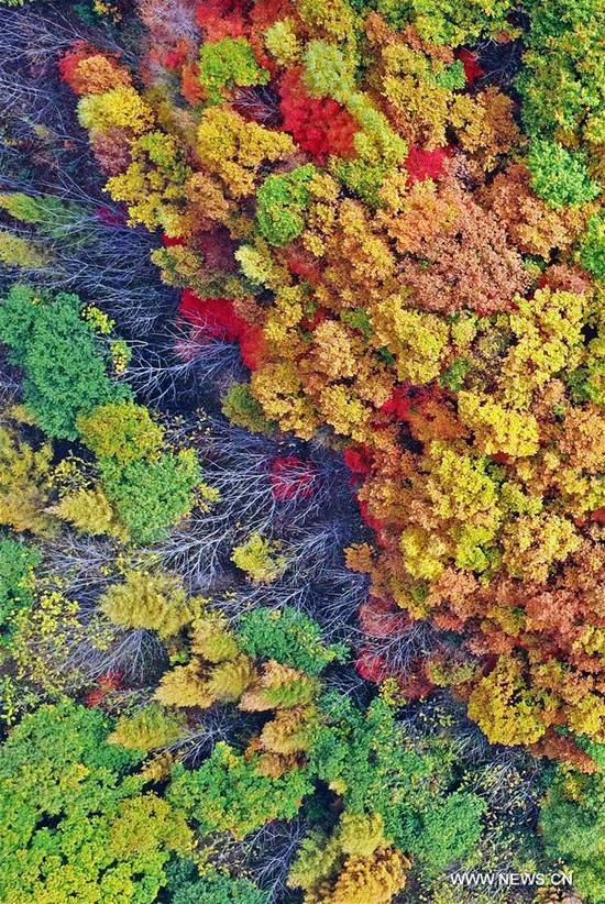 Photo taken on Oct. 11, 2017 shows the scenery of red leaves at Tianqiaogou forest park in Dandong, northeast China's Liaoning Province. (Xinhua/Yang Qing)