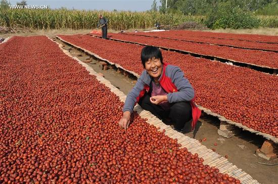 Villagers pick red dates in Junsongxi Village of Wenmiao Town in Botou, north China's Hebei Province, Oct. 12, 2017. More than 20,000 hectares of red dates had a great harvest in Botou.(Xinhua/Mu Yu)