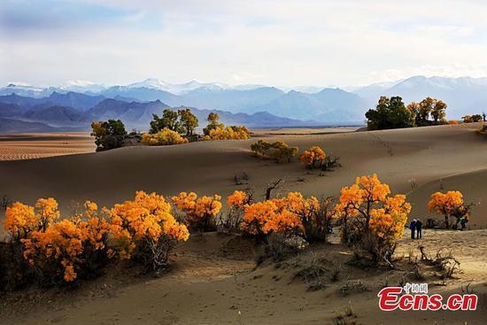 Autumn scenery of world's highest desert poplar forest in NW China