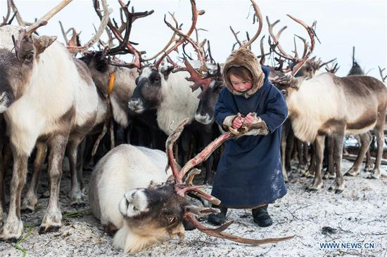 A Nenets girl removes dead skin from the horn of a reindeer in her camp, around 200km from Salekhard, Russia, on Nov. 4, 2017. The Nenets are an indigenous people in northern arctic Russia. According to the latest census in 2010, there are around 45,000 Nenets in the Russian Federation, most of them living in the Yamalo-Nenets Autonomous Okrug and Nenets Autonomous Okrug. (Xinhua/Bai Xueqi)