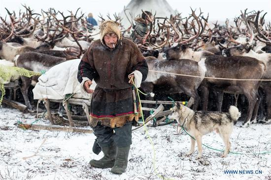A Nenets man rests next to reindeers in his family camp, around 200km from Salekhard, Russia, on Nov. 5, 2017. The Nenets are an indigenous people in northern arctic Russia. According to the latest census in 2010, there are around 45,000 Nenets in the Russian Federation, most of them living in the Yamalo-Nenets Autonomous Okrug and Nenets Autonomous Okrug. (Xinhua/Bai Xueqi)