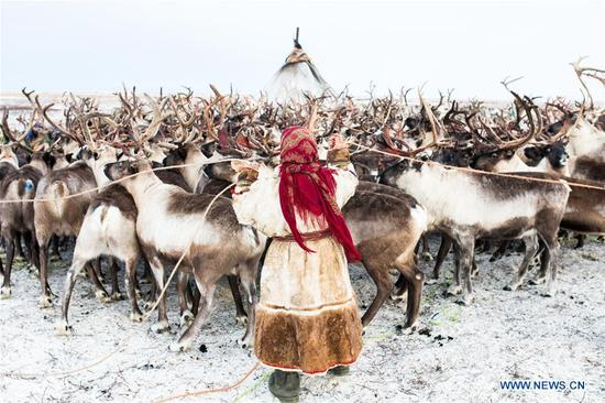 A Nenets woman splits reindeers in her camp, around 200km from Salekhard, Russia, on Nov. 4, 2017. The Nenets are an indigenous people in northern arctic Russia. According to the latest census in 2010, there are around 45,000 Nenets in the Russian Federation, most of them living in the Yamalo-Nenets Autonomous Okrug and Nenets Autonomous Okrug. (Xinhua/Bai Xueqi)