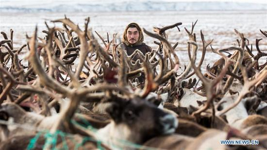 A Nenets man rests next to reindeers in his family camp, around 200km from Salekhard, Russia, on Nov. 4, 2017. The Nenets are an indigenous people in northern arctic Russia. According to the latest census in 2010, there are around 45,000 Nenets in the Russian Federation, most of them living in the Yamalo-Nenets Autonomous Okrug and Nenets Autonomous Okrug. (Xinhua/Bai Xueqi)