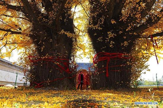 Tourists look at two old gingko trees in Taiping Temple in Jiaozhou City, east China's Shandong Province, Nov. 10, 2017. Two gingko trees of over 1,300 years are planted inside the temple. (Xinhua/Wang Zhaomai)