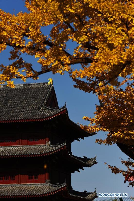 Photo taken on Nov. 10, 2017 shows leaves of a gingko tree in Taiping Temple in Jiaozhou City, east China's Shandong Province. Two gingko trees of over 1,300 years are planted inside the temple. (Xinhua/Wang Zhaomai)