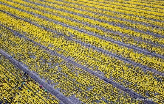 Photo taken on Nov. 12, 2017 shows a chrysanthemum plantation at a modern agricultural science and technology industrial zone by the Baima Lake in Huai'an, east China's Jiangsu Province. It is the biggest chrysanthemum planting base of Huai'an. (Xinhua/Li Xiang)