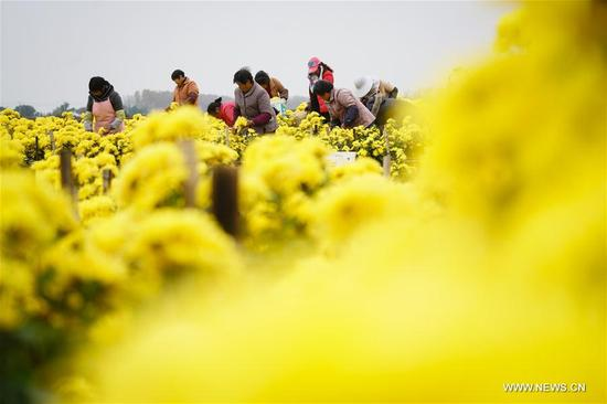 Farmers pick chrysanthemum at a modern agricultural science and technology industrial zone by the Baima Lake in Huai'an, east China's Jiangsu Province, Nov. 12, 2017. It is the biggest chrysanthemum planting base of Huai'an. (Xinhua/Li Xiang)