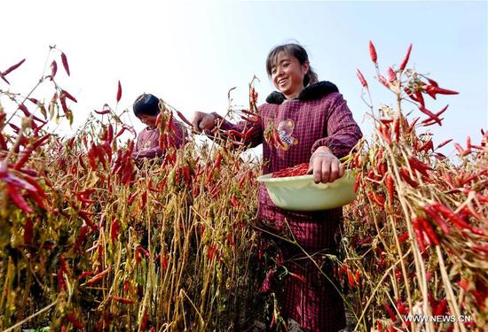 Farmers pick peppers in Wanhuzhuang Village of Linxi County, north China's Hebei Province, Nov. 12, 2017. With plant area of more than 333 hectares, Linxi County saw a good harvest of chili pepper. (Xinhua/Zhu Xudong)