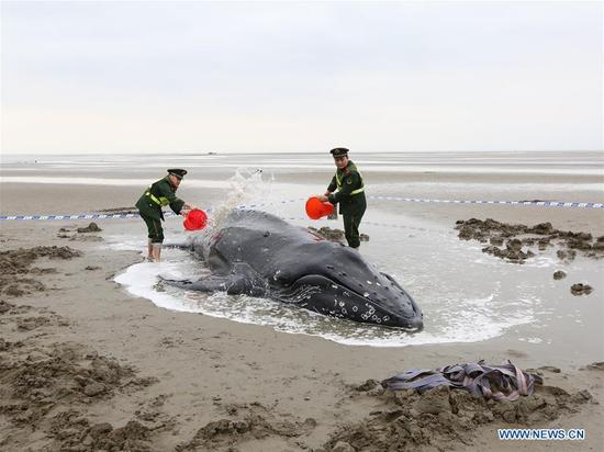 Soldiers help a humpback whale stranded at the beach in Qidong City, east China's Jiangsu Province, Nov. 13, 2017. The whale returned to the sea when the high tide came Monday afternoon. (Xinhua/He Renfeng)