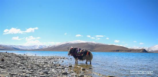 Photo taken on May 24, 2019 shows a yak on the bank of Yamzbog Yumco Lake in Nagarze County of Shannan, southwest China's Tibet Autonomous Region. The Yamzbog Yumco Lake is regarded as one of the three largest sacred lakes in Tibet. (Xinhua/Jigme Dorje)