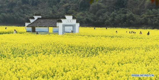 Photo taken on March 17, 2020 shows the view of cole flower fields in Zhuji, east China's Zhejiang Province. (Xinhua/Weng Xinyang)