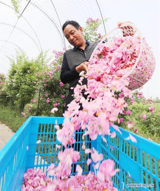A farmer picks roses in the field at Shizhuang Village of Hai'an County, east China's Jiangsu Province, May 14, 2018. (Xinhua/Xiang Zhonglin)