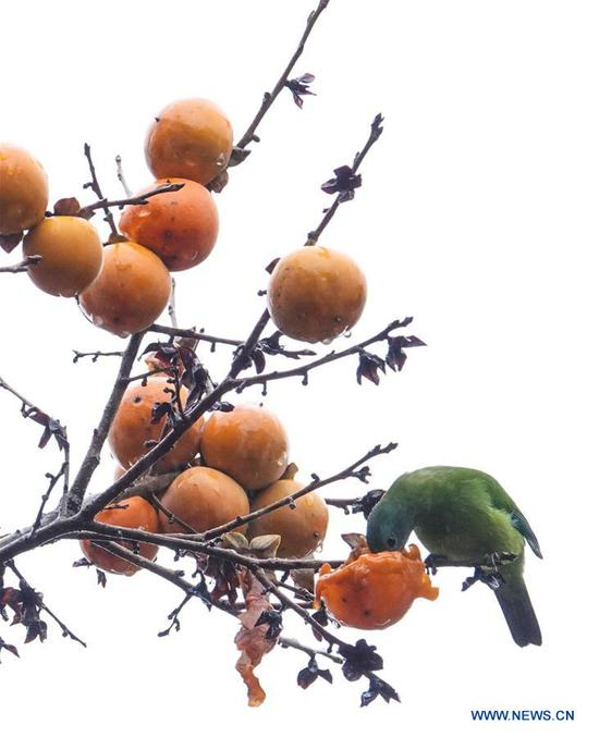 A bird eats a persimmon on a tree at Guizhou arboretum in Guiyang, southwest China's Guizhou Province, on Nov. 7, 2018. (Xinhua/Qiao Qiming)