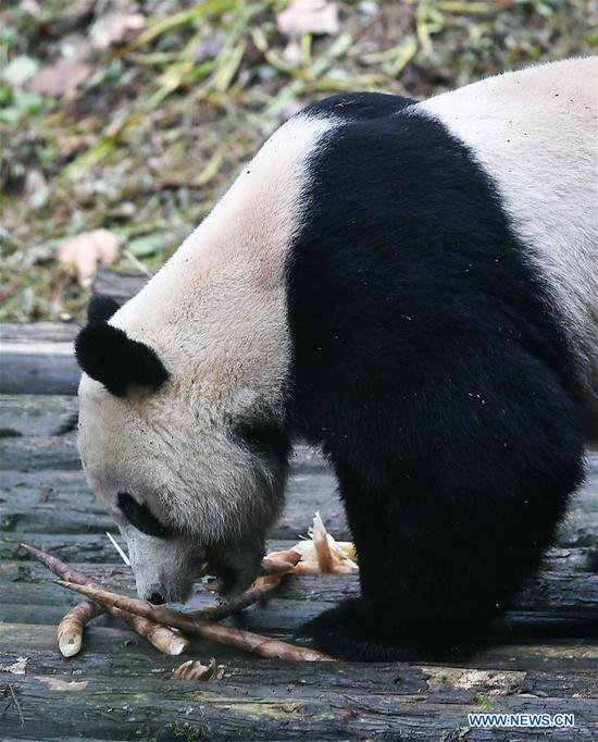 U.S.-born male giant panda Bei Bei is seen after his return from the United States at the Bifengxia Panda Base of the China Conservation and Research Center for the Giant Panda in Ya'an, southwest China's Sichuan Province, Nov. 21, 2019. Giant panda Bei Bei, who was born and raised at the Smithsonian's National Zoo in Washington D.C. for more than four years, departed for the next chapter of his life in China on Tuesday. Bei Bei will officially meet the public in China after one month of quarantine. (Xinhua/Xue Yubin)