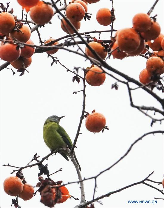 A bird rests on a persimmon tree at Guizhou arboretum in Guiyang, southwest China's Guizhou Province, on Nov. 7, 2018. (Xinhua/Qiao Qiming)
