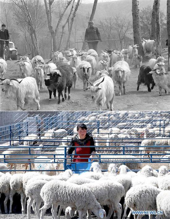 Combo photo shows villager Bai Shengyou grazing a flock of sheep at Liangcun Township in Yan'an, northwest China's Shaanxi Province on April 27, 1993 (top, taken by Tao Ming) and a staff member feeding the sheep at a livestock farm in Ansai District of Yan'an on April 23, 2019 (bottom, taken by Liu Xiao). Yan'an, a former revolutionary base of the Communist Party of China (CPC), is no longer labeled