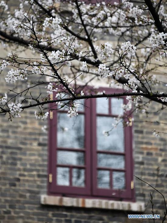 武汉大学组织校园樱花十天直播 4