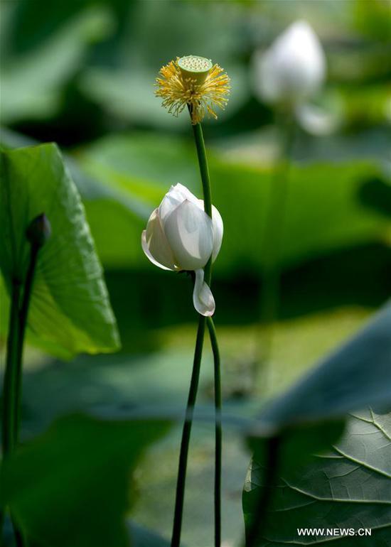 Photo taken on July 2, 2019 shows a lotus flower in full bloom in Mati Lake at Nankai University in north China's Tianjin. (Xinhua/Yue Yuewei)