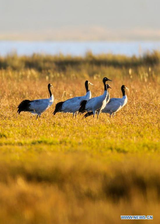 A flock of black-necked cranes are pictured at the Caohai National Nature Reserve, a popular destination among migratory birds, in Weining Yi-Hui-Miao Autonomous County, Bijie, southwest China's Guizhou Province, Nov. 16, 2020. (Photo by He Huan/Xinhua)