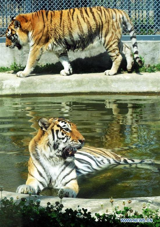A tiger stays in a pool at Shangfangshan forest zoo in Suzhou, east China's Jiangsu Province, May 16, 2018. Heat wave hit Jiangsu Wednesday with temperatures over 35 degrees Celsius in some places. (Xinhua/Hang Xingwei)