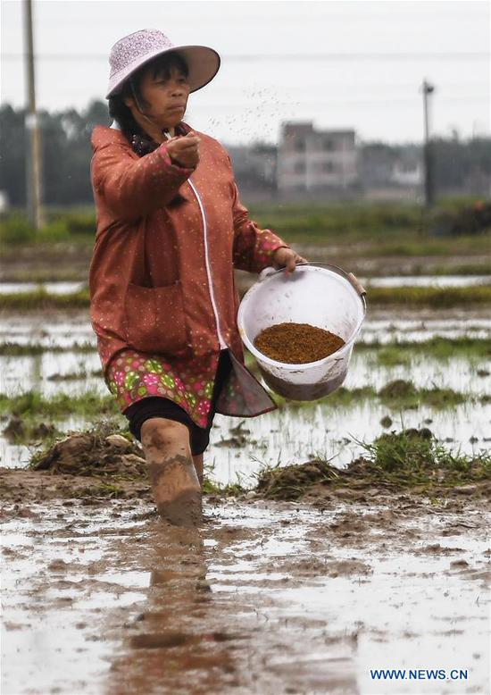 Liu Yuezhen, a local farmer, sows seeds in a rice field in Banping village,Kangxiling Town of Qinzhou, south China's Guangxi Zhuang Autonomous Region, March 7, 2019. Farmers in Qinzhou have been busy with planting early rice in spring. (Xinhua/Zhang Ailin)