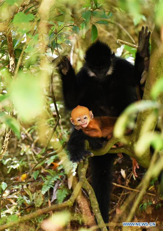 A Francois' langur is seen with its baby in the Mayanghe National Nature Reserve in Guizhou Province, southwest China, June 4, 2019. Thanks to a series of protective measures, the number of Francois' langurs in the Mayanghe National Nature Reserve has been increasing in recent years. According to latest official statistics, there are currently more than 550 Francois' langurs in the nature reserve. Also known as Francois' leaf monkeys, the species is one of China's most endangered wild animals and is under top national-level protection. It is also one of the endangered species on the International Union for Conservation of Nature red list. The species are found in China's Guangxi, Guizhou and Chongqing. (Xinhua/Yang Wenbin)