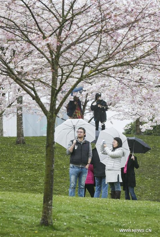People enjoy the blooming cherry scenery at the Cherry Blossom Festival in Richmond, Canada, April 8, 2018. The 2nd annual Cherry Blossom Festival of Richmond was held on Sunday, attracting many visitors. (Xinhua/Liang Sen)