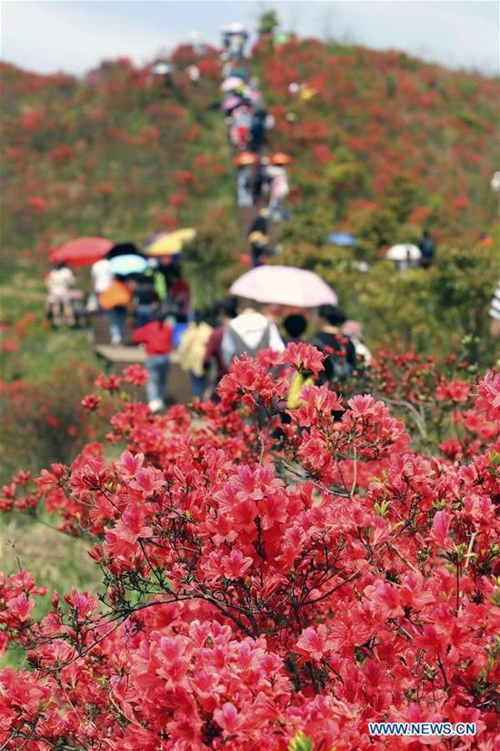 People visit at Shengjingshan scenic spot in Rui'an City, east China's Zhejiang Province, April 11, 2018. Azaleas here are in full bloom these days. (Xinhua/Zhuang Yingchang)