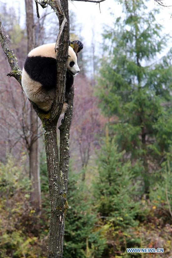 Giant panda Tian Tian is seen resting on a tree at the newly-opened Jiawuhai Giant Panda Conservation and Research Park in Jiuzhaigou County, the Aba Tibetan and Qiang Autonomous Prefecture, southwest China's Sichuan Province, Nov. 6, 2019. The Jiawuhai Giant Panda Conservation and Research Park officially opened here on Wednesday. The facility will serve as the new home for four giant pandas, namely Xin Xin, Tian Tian, Hai Hai and Xiao Liwu (meaning
