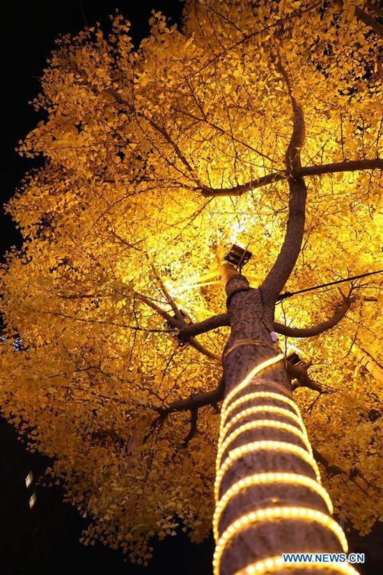 An illuminated gingko tree is seen in Tianshui City, northwest China's Gansu Province, Nov. 14, 2019. (Xinhua/Guo Gang)