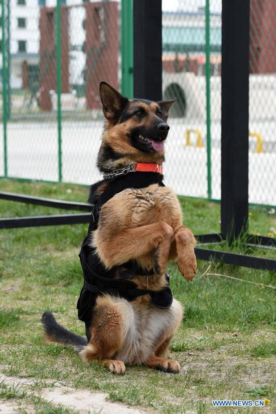 A rescue dog takes part in a basic sitting training at the National Urban Search and Rescue (USAR) Training Center of Lanzhou in Yuzhong County of Lanzhou, capital of northwest China's Gansu Province, May 10, 2021. The National USAR Training Center of Lanzhou has a rescue team made up of armed police, medical staff and members of the China Earthquake Administration. The center, which has multi-functional professional training fields, facilities and equipment, can train professional rescue teams to deal with complicated circumstances. Meanwhile, as a state-level popular science education base for earthquake prevention and disaster reduction, it has opened various forms of popular science education classes. (Xinhua/Fan Peishen)