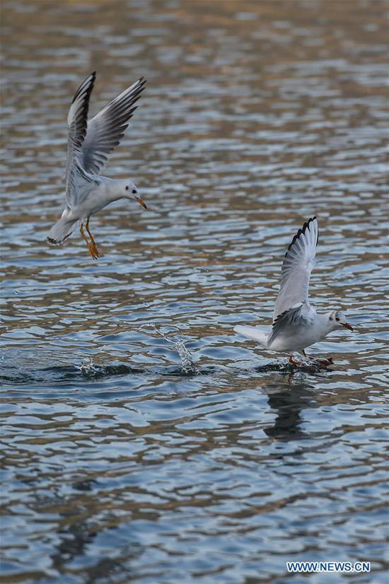 Black-headed gulls play on Dianchi Lake in Kunming, southwest China's Yunnan Province, Nov. 17, 2019. (Xinhua/Li Mangmang)