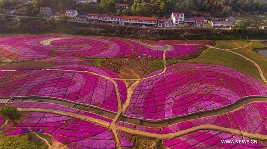 Aerial photo taken on April 10, 2018 shows lantana camara blossoms in Chuancang Village, Taiyang Township, Huoshan County of east China's Anhui Province. (Xinhua/Tao Ming)