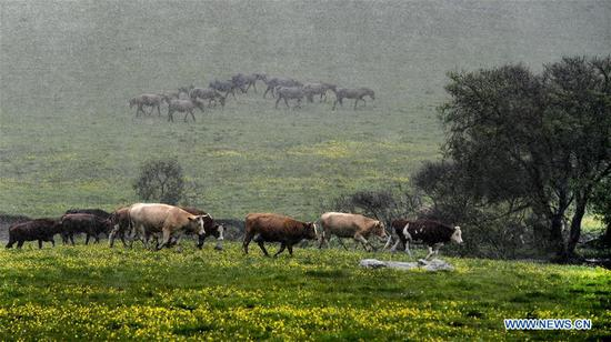 Herds of cattle and horses are seen in the rain at the Guanshan Grassland at Longxian County in Baoji, northwest China's Shaanxi Province, June 12, 2019. (Xinhua/Tao Ming)