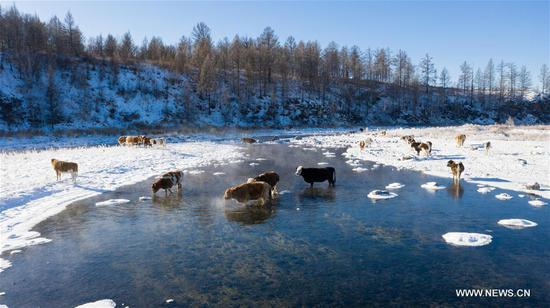 A herd of cattle drink water in an unfrozen section of the Halha River in the city of Arxan of Hinggan League, north China's Inner Mongolia Autonomous Region, Nov. 20, 2019. Despite Arxan's frigid winter cold, this geothermally-affected, 20-kilometer section of the Halha River never freezes even when the temperature drops to as low as minus 40 degrees Celsius. (Xinhua/Peng Yuan)