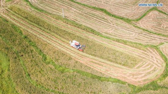 Aerial photo taken on Sept. 21, 2020 shows a harvester working in paddy fields in Zhongzhai Miao-Yi-Buyi Town of Liuzhi special region of Liupanshui City, southwest China's Guizhou Province. A total of 120,000 mu (8,000 hectares) rice ushered in harvest season recently in Liuzhi. (Xinhua/Tao Liang)