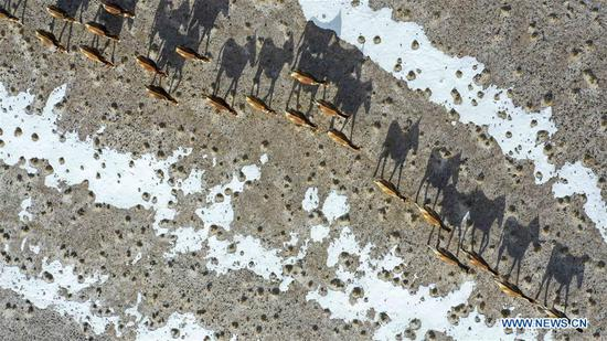Aerial photo taken on April 2, 2019 shows a herd of kiangs in the Altun Mountains National Nature Reserve in northwest China's Xinjiang Uygur Autonomous Region. Altun Mountain National Nature Reserve saw the number of three rare wild animals reach around 100,000, according to local researchers. The population of wild yak, Tibetan antelope and wild ass is recovering to the level of recorded data in the 1980s when the reserve was first set up, the results of the latest scientific investigation showed. The reserve suspended all mining activities within its 46,800-square-km parameter in 2018 in an effort to restore its environment. (Xinhua/Hu Huhu)