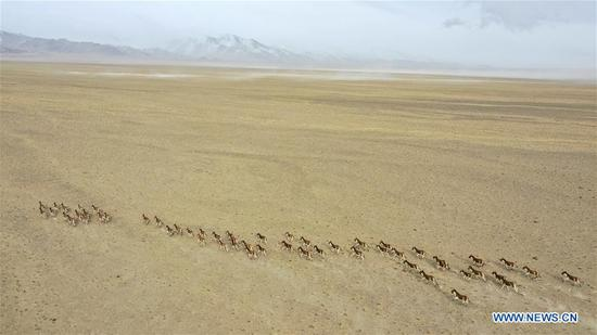 Aerial photo taken on March 31, 2019 shows a herd of kiangs running in the Altun Mountains National Nature Reserve in northwest China's Xinjiang Uygur Autonomous Region. Altun Mountain National Nature Reserve saw the number of three rare wild animals reach around 100,000, according to local researchers. The population of wild yak, Tibetan antelope and wild ass is recovering to the level of recorded data in the 1980s when the reserve was first set up, the results of the latest scientific investigation showed. The reserve suspended all mining activities within its 46,800-square-km parameter in 2018 in an effort to restore its environment. (Xinhua/Hu Huhu)