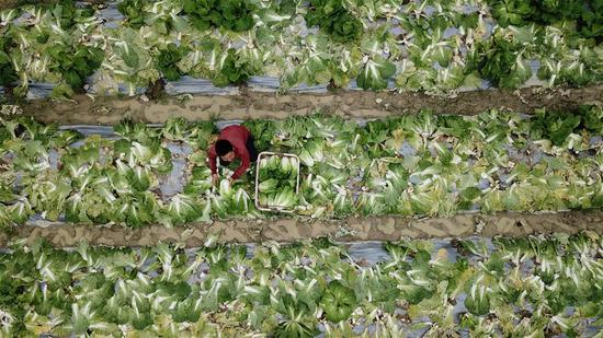 Aerial photo shows a staff member picking vegetables in Tongren, southwest China's Guizhou Province, May 21, 2019. Tongren City has established a monitoring system applying new technologies of big data to trace food from farming to dining table, an effort to guarantee food safety for students. (Xinhua/Ou Dongqu)