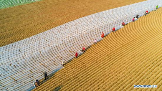 Aerial photo taken on Feb. 11, 2020 shows villagers working in fields in Sangshulin Village, Tuopai Township of Shehong City, southwest China's Sichuan Province. Farmers across China have resumed production after taking necessary protection measures against novel coronavirus. By Feb. 10, about 94.6 percent of the country's major grain production and processing firms had resumed production. (Photo by Liu Changsong/Xinhua)