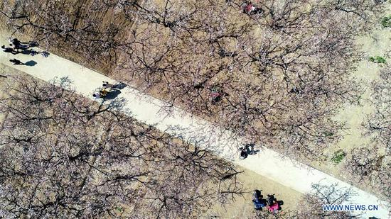 Aerial photo shows tourists visiting an apricot tree garden in Donghanzhuang Village, Julu County, north China's Hebei Province, March 24, 2020. The apricot trees are in blooming here. (Xinhua/Mu Yu)